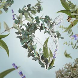 Fraîcheur d'Eucalyptus